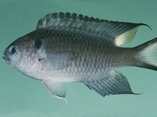 Regal damselfish