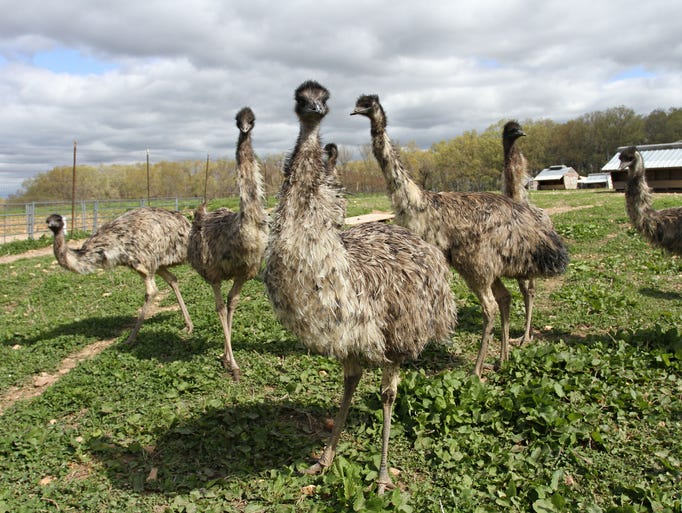 Tom and Mary Jane McHaffie currently have about 170 emu on their farm in Sparta. They raise the birds for their oil, selling it and emu oil products through their business, Back Country Naturals. Photographed on Tuesday, April 29, 2014.