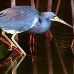 A Louisiana heron eyes it's prey as it perches on the roots of a mangrove tree at J.N. Ding Darling Wildlife Sanctuary. Learn how to capture great nature photography without disturbing your subject.