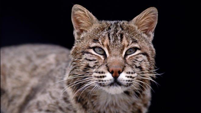 The bobcat, Indiana's most elusive predator.
