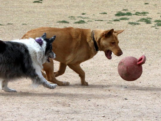 Dogs Wile E. Coyote and Lily Bud scramble after a ball