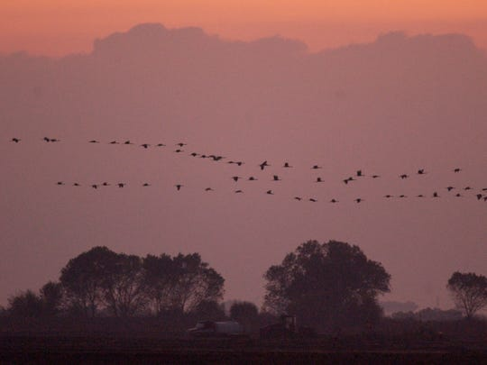 Sandhill Cranes fly over the Pixley National Wildlife Refuge in 2011 during the Welcome Back The Cranes event. It remains to be seen what affect the state's drought will have on migrating birds such as these.