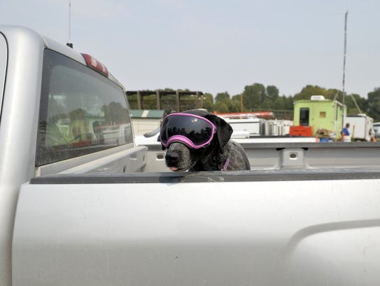 A dog rides in style in the back of a pickup truck