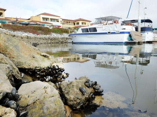Ventura Shellfish Enterprise is a partnership headed by the Ventura Port District and includes shellfish companies and investors. The harbor would receive a portion of the proceeds from the mussel harvest.