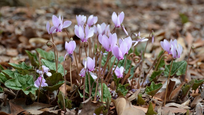 Hardy cyclamen is native to western Turkey, Bulgaria and the eastern Mediterranean.  These small hardy species may be easily grown in the ground year-round in Pennsylvania.