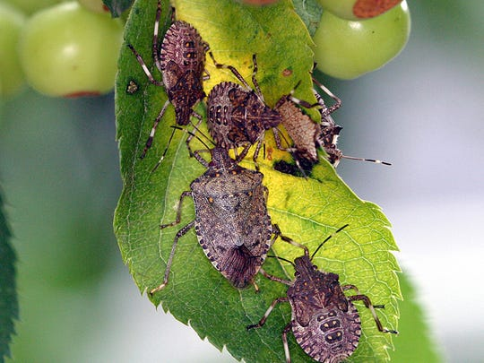 Stink bugs feed on a crab apple tree, one of an estimated 100 host plants that they favor.