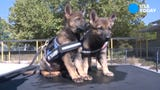 These three adorable german shepherd pups, named Lexie, Maddie and Rosie, are the newest members of the Australian Federal Police.