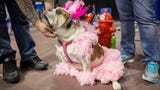 Bulldog owners answer what makes their dogs beautiful during the Beautiful Bulldog contest at Drake University.