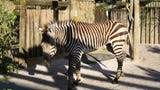 Mountain zebra trio arrives at Zoo Knoxville