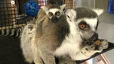Dickerson Park Zoo is proud to announce the birth of a ring-tailed lemur. The baby, born March 28, is doing well and should be on exhibit by mid-May.