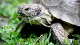 Judith Patience is advancing in age and needs to find a new home for her tortoise, Tommy, who she has been taking care of for more than 35 years.