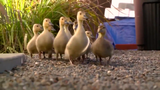Sacramento homeowner Becky Gaydosh wants her backyard back after 12 ducklings and their mother decided to settle in.