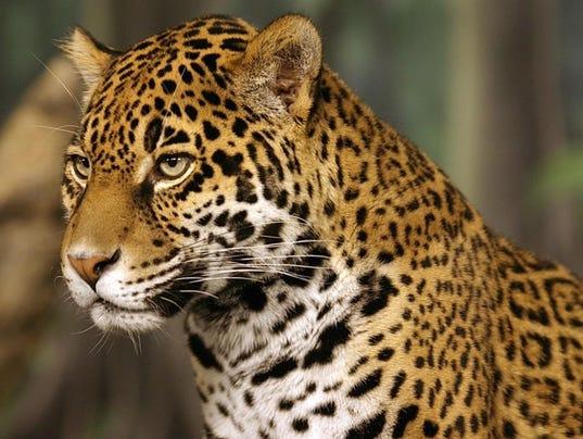 636251073649426593-Jaguar.jpg