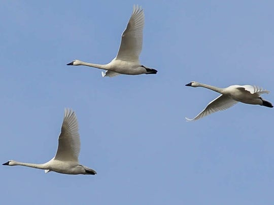 Tundra swans in Milton.