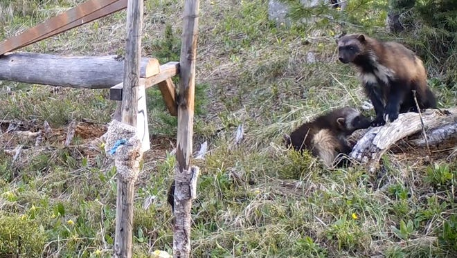 First documented wolverine kits in Bitterroot National Forest recorded playing and munching on deer bones.