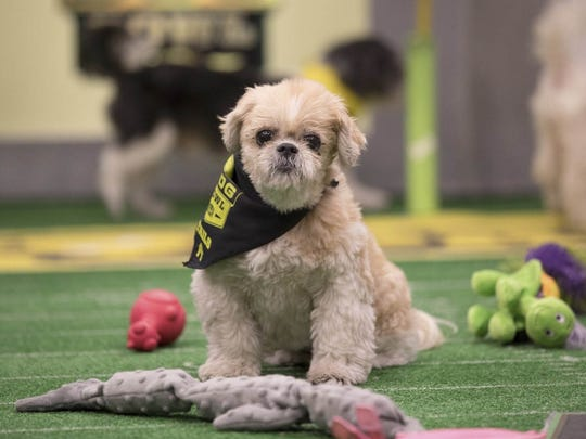 A star of the 2017 Puppy Bowl, which is filmed in October with dogs from shelters.