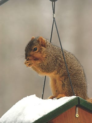 The average adult squirrel needs to eat about a pound of food each week.