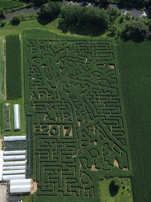 Stoughton Farm in Newark Valley designed their corn maze in the likeness of Harpursville giraffes, April and Tajiri.
