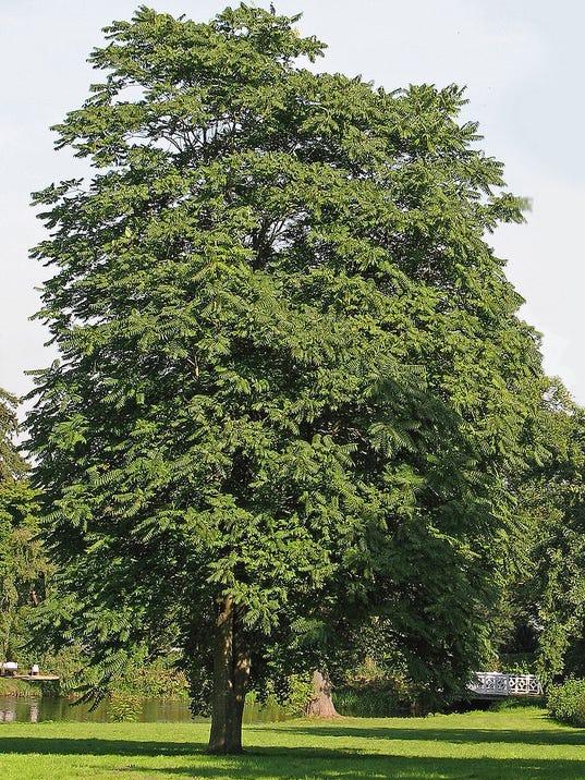 Tree-of-Heaven-Ailanthus-altissima.jpg