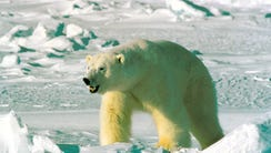 Researchers estimated  about 900 polar bears remained