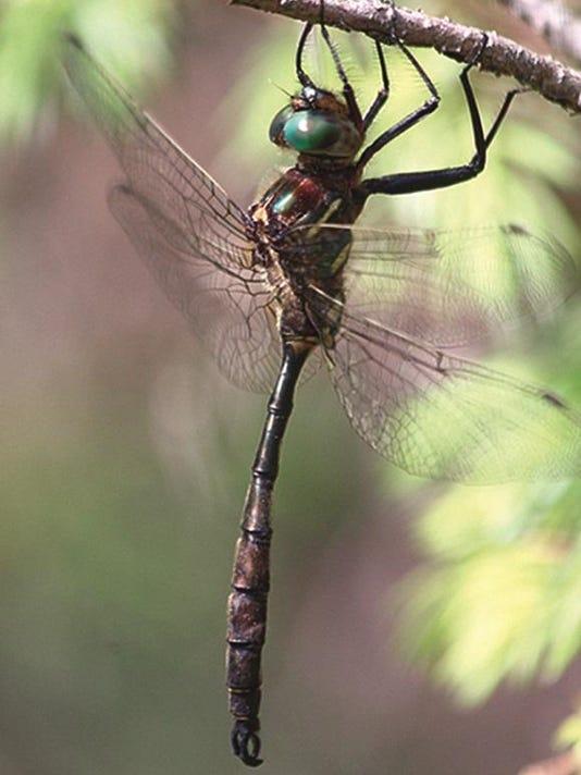 dcn 0708 ridges hines enerald dragonfly 2