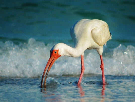 Ibis is a Ned Stacey photograph.