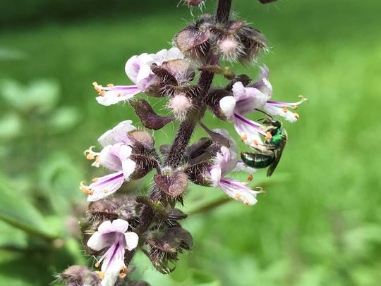 "Anise Hyssop, ""all-star bee plant,"" enhances gardens"
