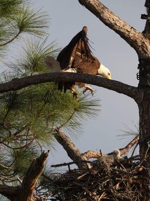 southwest florida eagle cam: photographers asked to move