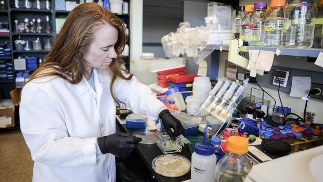Associate professor Teresa Gunn works with slides containing 10-micron-thick sections of mouse brain tissue at the McLaughlin Research Institute on Wednesday. McLaughlin would be one of the biomedical research facilities in the state that could benefit should I-181 pass in November.