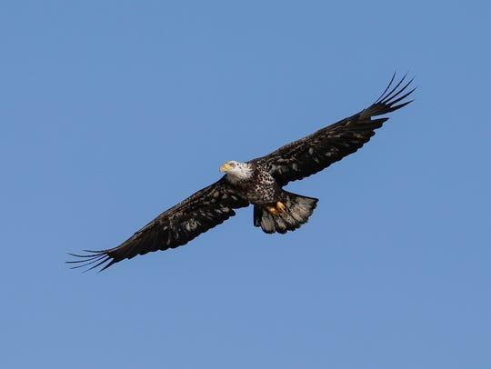 A bald eagle soars over Lake Michigan Thursday, Apr.