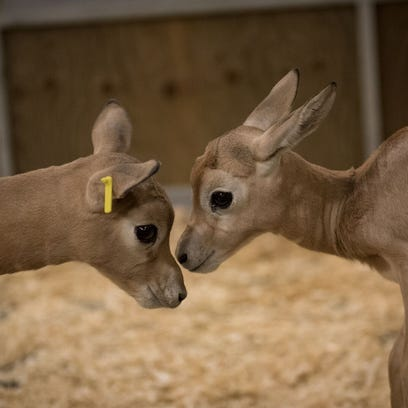 Two baby Dama Gazelle Calves at the Columbus Zoo.