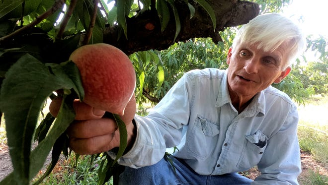 """Russ Studebaker examines peaches on his farm near Fredericksburg. """"We're really happy with the crop, it's really nice, really tasty,"""" he said."""