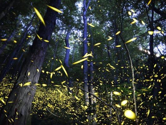 042916synchronous-fireflies.jpg