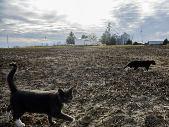 Cats cross a field at Voisinet Farms in Laingsburg on Thursday, March 9, 2017. The Ingham County Animal Shelter is stuggling with an unusually large influx of cats this year.