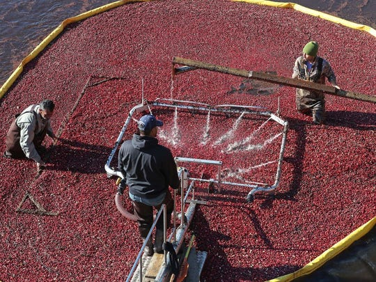 In this Oct. 17, 2017 photo, Six Pine Island Cranberry Co. workers push floating berries into a bog-side cleaner in Chatsworth, N.J.. Tractors drag a yellow boom around the bog to section it off for workers to harvest. The cleaner washes the berries, which are then transported by truck to the Ocean Spray receiving center. (Craig Matthews/The Press of Atlantic City via AP)