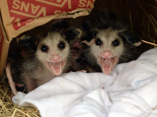 Two juvenile opossums bear their teeth. They will soon be returned to the wild.