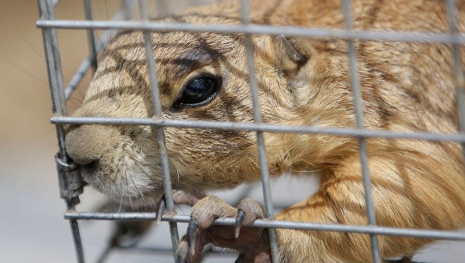 In this Aug. 6 photo, a prairie dog is caged, in Cedar City. State biologists were out this summer rounding up prairie dogs that have overrun a small southern Utah town and moving them where they can't wreak havoc. Once they're caught, the creatures are weighed, tagged and trucked some 25 miles away, onto federal land covered with sage and golden yellow grasses.