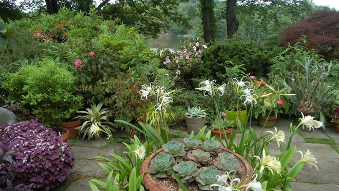 The six-acre Cortlandt  garden of Vivian and Ed Merrin features a large pond with about 500 blooming lotus plants, four greenhouses filled with rare tropical plants and more than 300 mountain laurels.