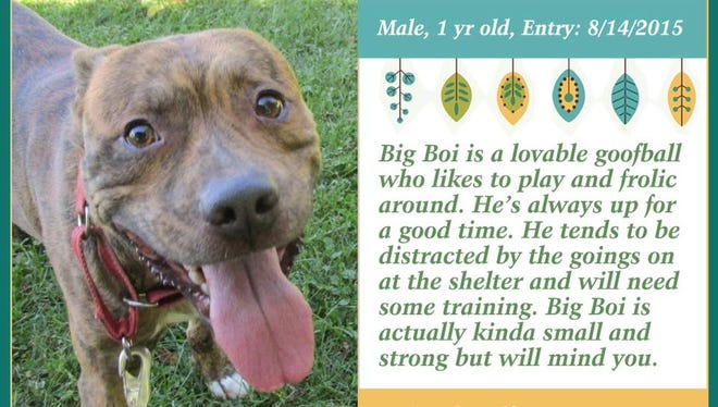 Big Boi is available for adoption from Animal Welfare League.