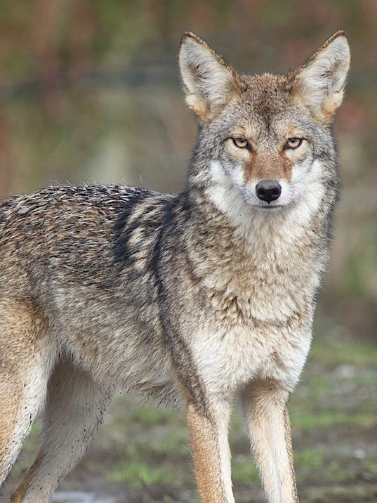 coyotes near yonkers raceway prompt meeting thursday. Black Bedroom Furniture Sets. Home Design Ideas
