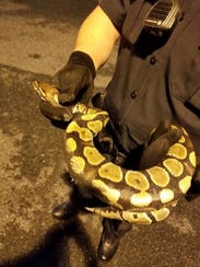 A python was found in a car engine in Seaford late