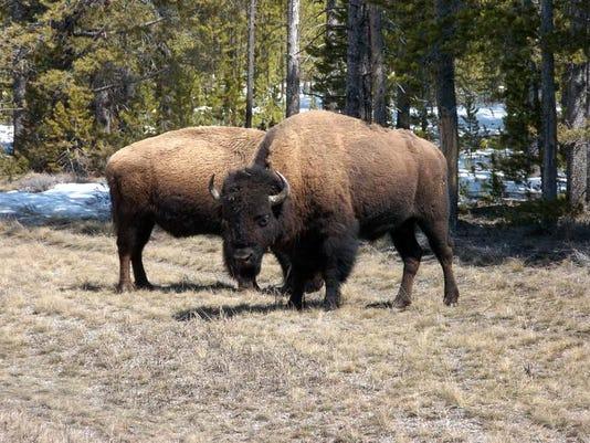 Bison Conservation.jpg
