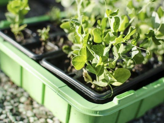 Garden - Planting Peas.jpg