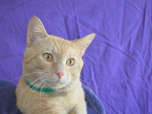 Valentino (90773) He is gorgeous 4 year old orange Tabby.JPG
