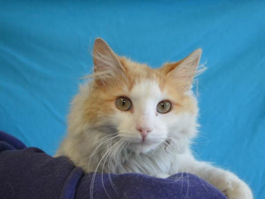 Flipper (91147) He is the purrfect little guy he is one year old with a medi.JPG