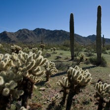 Teddybear cholla and saguaro cactus grow in abundance in the Sonoran Desert National Monument near Gila Bend.