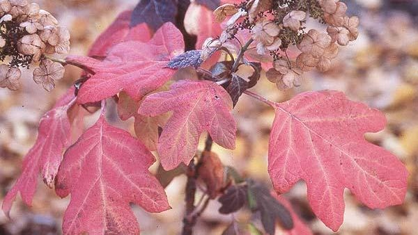 Fall display of Oakleaf hydrangea have a beauty of its own with colored foliage and spent flowers.