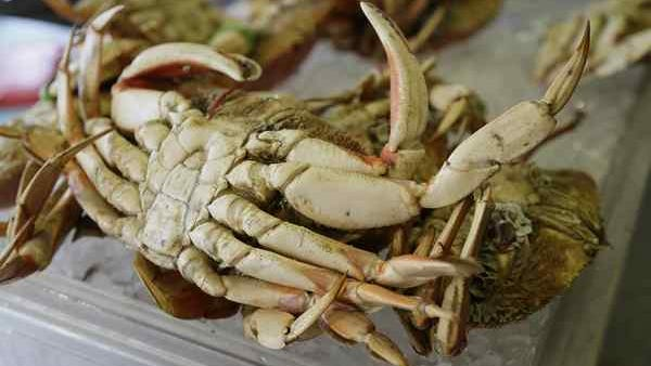 Crab fishermen off the coasts of Mendocino, Humboldt and Del Norte counties will be allowed to start catching Dungeness crab again Monday. Buyers are hoping the crab have enough quality meat.