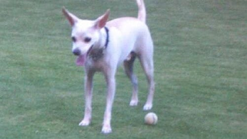 Police said Angel, a long-legged white Chihuahua, has been missing since the woman walking him was killed in a hit-and-run wreck near 39th Avenue and McDowell Road on Feb. 6, 2015.