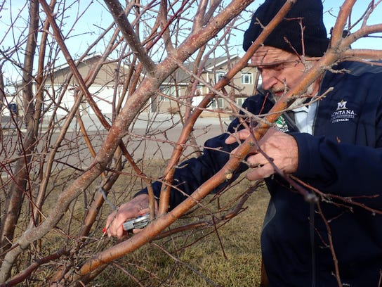 Ken Roberts, a Master Gardener, trims a tree branch